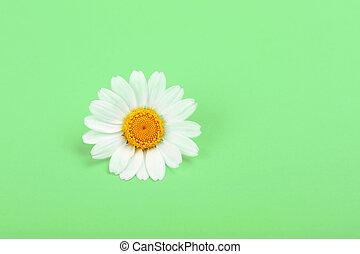 encima, arriba, uno, flor, camomila, cierre, verde