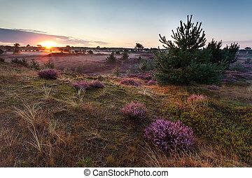 encima, brezo, florecimiento, salida del sol, praderas