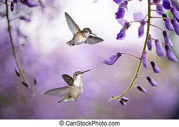 encima, colibrís, plano de fondo, glicina, púrpura