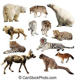 encima, conjunto, mamíferos, depredador, blanco