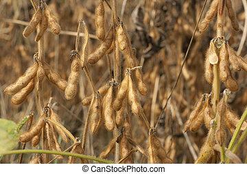 encima de cierre, soja, semillas