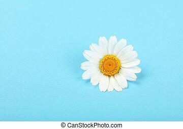 encima, uno, cicatrizarse, camomila, flor azul