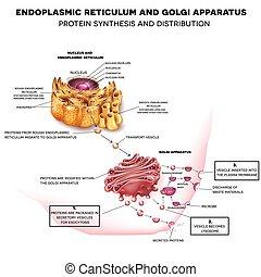 endoplasmic, golgi, aparato, reticulum