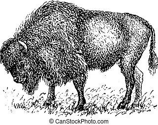 engraving., vendimia, bisonte