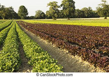 Ensaladas de campos agrícolas