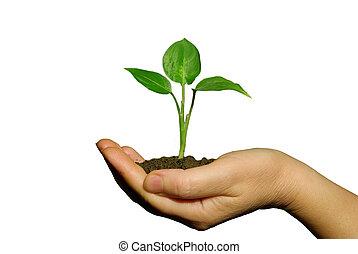 entre, manos, tenencia, planta