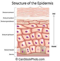 Epidermis de la piel