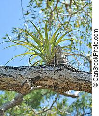 epiphyte, bromelia, planta