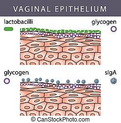 Epithelio vaginal con glicogeno
