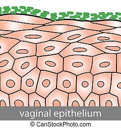 Epithelio vaginal