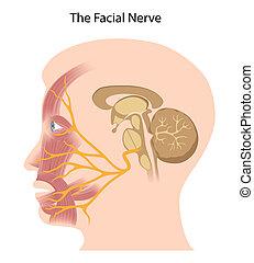 eps10, facial, nervio