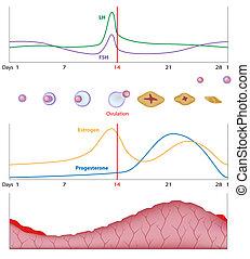 eps10, sexual, ciclo, hembra