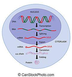 eps8, expresión, gene