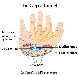 eps8, túnel, carpal, síndrome