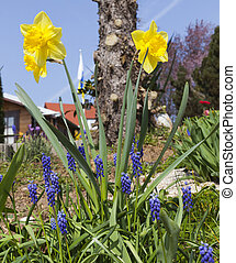 Es primavera, jacintos y narcisos en el jardín