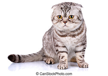 escocés, rayas, bicolor, plano de fondo, gato, blanco, pliegue