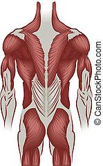 espalda, músculos, ilustración