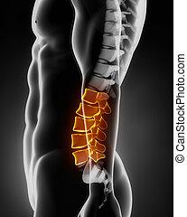 espina dorsal, anatomía, lateral, lumbar, vista