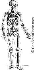 Esqueleto, grabado antiguo.