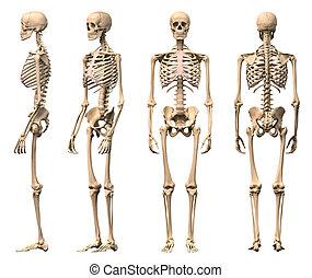 esqueleto, macho, rendering., correcto, científicamente, vistas, recorte, frente, cuatro, espalda, humano, included., perspective., trayectoria, photorealistic, 3 d, lado