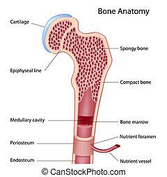 Estructura ósea