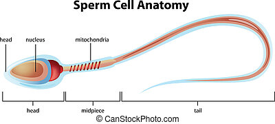 Estructura celular de esperma