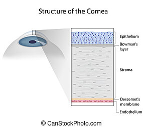 Estructura de córnea humana, eps10