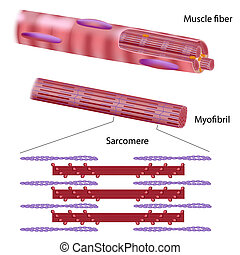 Estructura de fibra muscular esquelética