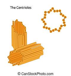 Estructura de los centrículos, eps8