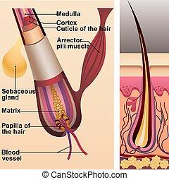 Estructura de pelo y folículo y glándula sebácea