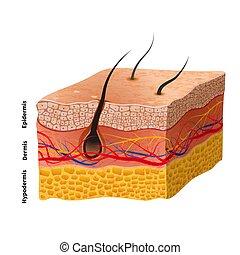 Estructura de piel humana detallada, ilustración médica
