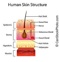 Estructura de piel humana, ilustración vectorial