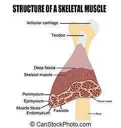 Estructura de un músculo esquelético