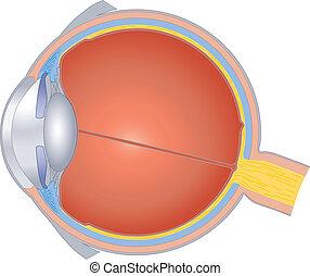 Estructuras del ojo humano