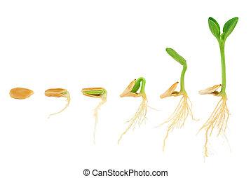 evolución, concepto, secuencia, aislado, planta, crecer, calabaza