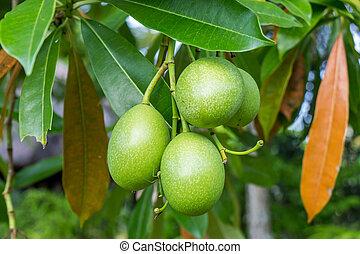 exterior, fruta, fresco, verano, verde, mango, planta