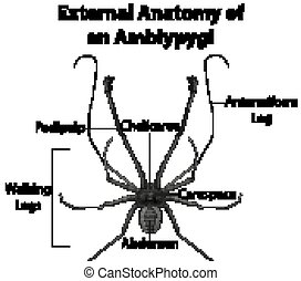externo, anatomía, amblypygi, plano de fondo, blanco
