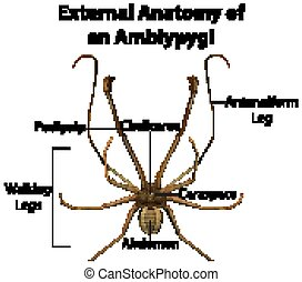 externo, anatomía, plano de fondo, blanco, amblypygi
