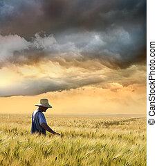 Farmer comprobando su cosecha de trigo