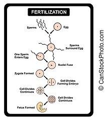 Fertilización de óvulos humanos y diagrama de esperma