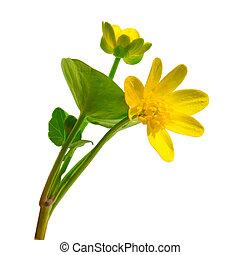 ficaria, flor, primavera, ranúnculo, aislado, amarillo, ranunculus, bosque, plano de fondo, chistyakov, blanco