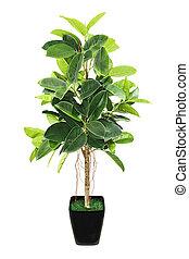 Ficus elastica (Indian Rubber Bush) en una maceta negra de fondo blanco.