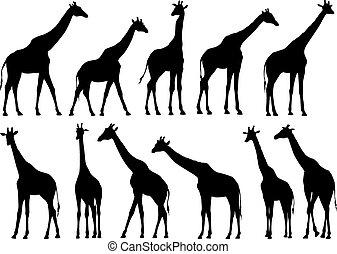 Fijen las siluetas vectoriales de jirafas.