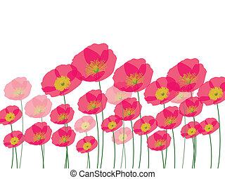 fila, amapola, flores, aislado, wh