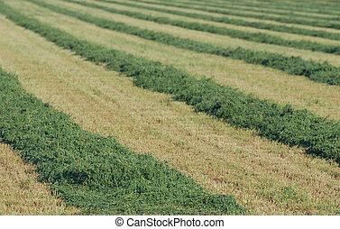 Filas de alfalfa