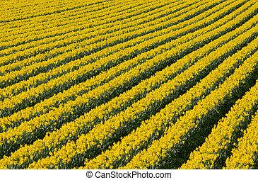 Filas de flores amarillas narcisas en un campo.