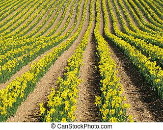 Filas de flores de narcisos amarillos en un campo inglés.