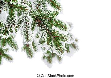 Fir rama en la nieve aislada en el fondo blanco