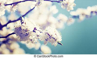 Flor de árbol de albaricoque, antecedentes abstractos naturales