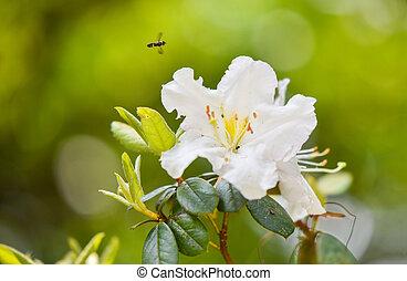 Flor de azalea blanca floreciendo en el jardín de la naturaleza, flor silvestre de Rhododendron Ericaceae en Tailandia